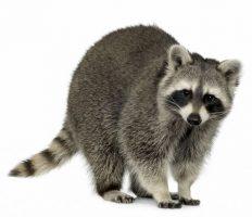 O Guaxinim do caça-níqueis The Exterminator